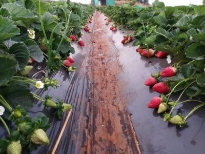Мулчиращо фолио за ягоди 1.2  х 10 м. - 3 сезона